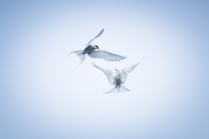 02-dance-of-the-arctic-terns-8x12